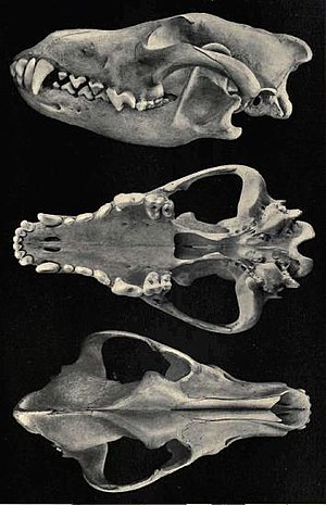 Mexican wolf - Skull