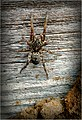 Michigan Hogna Wolf Spider.jpg