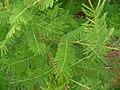 Mimosa verrucosa03.jpg