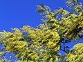 Mimoza 130208 1.jpg