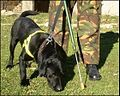 Mine Detection Dog (MDD) in Training.jpg
