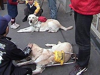 Guide dog - Labrador Retriever guide dogs resting