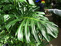 Monstera deliciosa-leaf top.jpg