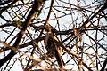 Monteiro's hornbill-5613 - Flickr - Ragnhild & Neil Crawford.jpg