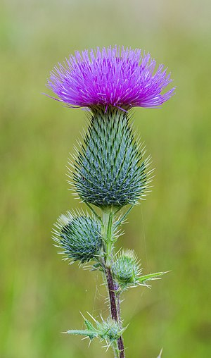Cirsium vulgare - Plant in flower, Joure, Netherlands