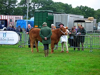 South Devon cattle - An example of judging