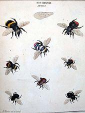 Bumblebee Wikipedia
