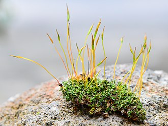 Moss - A patch of moss showing both gametophytes (the low, leaf-like forms) and sporophytes (the tall, stalk-like forms)