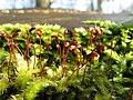 Moss spores.jpg