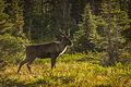 Mountain-type Woodland Caribou.jpg