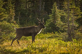 Mountain woodland caribou Jasper National Park, Alberta by User:ThartmannWiki Mountain-type Woodland Caribou.jpg