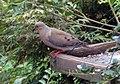 Mourning Dove (Zenaida macroura) (3815262209).jpg