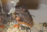 Кудрявая декоративная мышь