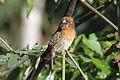 Moustached Puffbird (Malacoptila mystacalis) (8079771674).jpg
