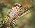 Mr Sparrow (36724835846).jpg
