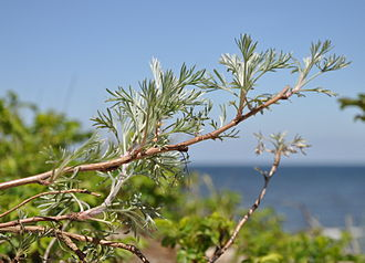 Artemisia campestris - Artemisia near Baltic Sea