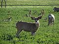 Mule Deer, Washoe Valley, Nevada (21155871439).jpg