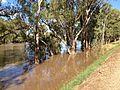 Murrumbidgee River in major flood, viewed from the levee (1).jpg
