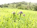 Mushroom with a hill behind - Saputara.jpg