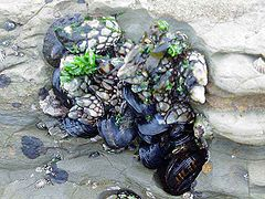 Marine mussels behind some Goose barnacles