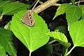 Mycalesis mineus - Dark-branded Bushbrown at Peravoor 2014.jpg