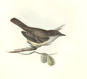 1838 in birding and ornithology - Image: Myiarchus magnirostris 1