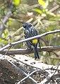Myrtle Yellow-rumped Warbler (3823831329).jpg