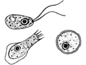 Naegleria fowleri - the stages flagellate, trophozoite and cyst (seen from upper left to lower left to right) of Naegleria fowleri