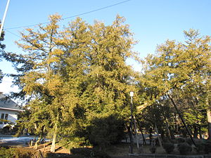 Torreya nucifera - Old kaya tree on the grounds of Nagoya Castle