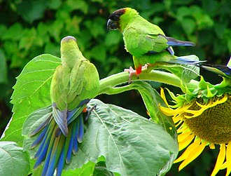 Nanday parakeet - Feral parrots in Sarasota County, Florida, United States