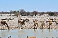 Napajedlo v Okaukuejo, Etosha - Namibie - panoramio (1).jpg