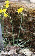 Flower of Narcissus gaditanus