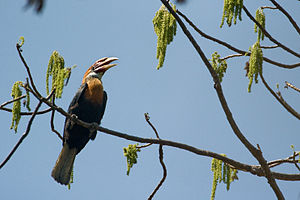 Narcondam Island - Narcondam hornbill, which is endemic to this small island