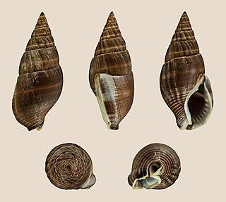 <i>Nassarius olivaceus</i> species of mollusc