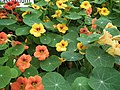 Nasturtium from Lalbagh flower show Aug 2013 7988.JPG
