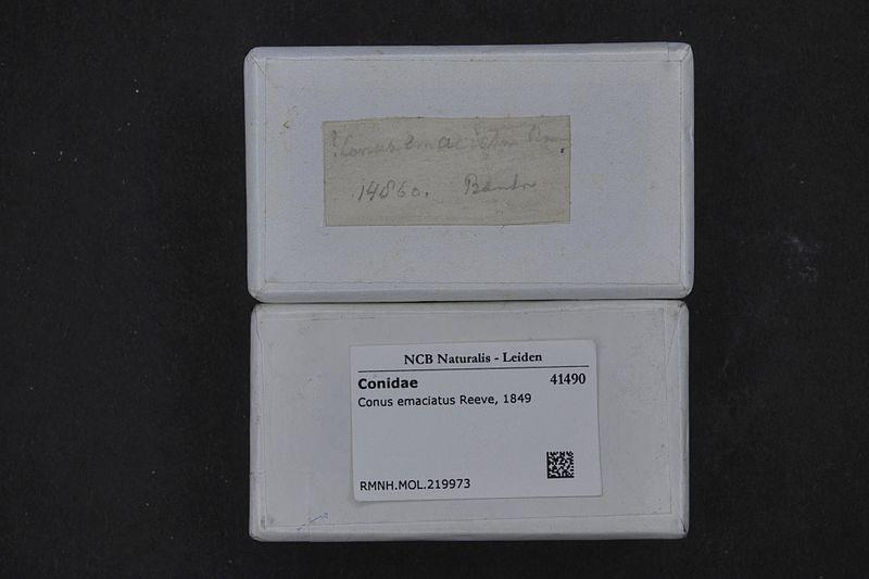File:Naturalis Biodiversity Center - RMNH.MOL.219973 1 - Conus emaciatus Reeve, 1849 - Conidae - Mollusc shell.jpeg
