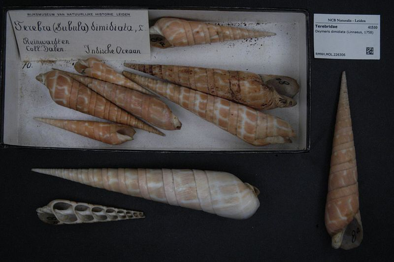 File:Naturalis Biodiversity Center - RMNH.MOL.226306 - Oxymeris dimidiata (Linnaeus, 1758) - Terebridae - Mollusc shell.jpeg