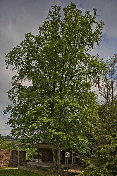File:Naturdenkmal Zwei Alte Linden, Kennung 82350800009, Schloßruine, Wildberg 03.jpg