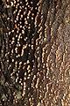 Nectria cinnabarina 103755123.jpg