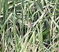 Nelson's Sparrow, McCool's Pond, Indiana, September 29, 2012 (8039549777).jpg
