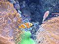 Nemo @ Oceanário de Lisboa (14008932535).jpg