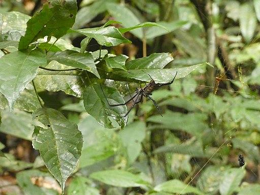 Nephila Nationalpark Tai