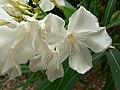 Nerium oleander (Villa Hanbury, Italy) 2.jpg