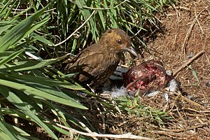 Tristan thrush - Scavenging on dead bird on Nightingale Island