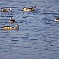 Nettapus coromandelianus, Cotton pygmy goose.jpg