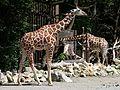 Netzgiraffe (Giraffa camelopardalis reticulata) Tierpark Hellabrunn-7.jpg
