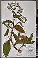Neuchâtel Herbarium - Borago officinalis - NEU000100901.jpg