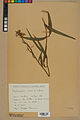 Neuchâtel Herbarium - Cephalanthera rubra - NEU000046810.jpg