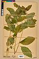 Neuchâtel Herbarium - Impatiens noli-tangere - NEU000019933.jpg
