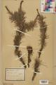 Neuchâtel Herbarium - Larix decidua - NEU000003682.tif